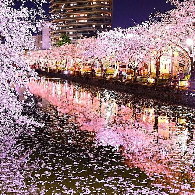 cherry-blossoms-tokyo-japan