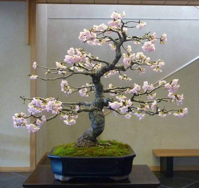 cherry-tree-bonsai-omiya-bonsai-art-museum
