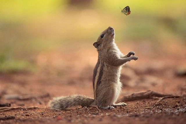 chipmunk-w-butterfly_guru-charan