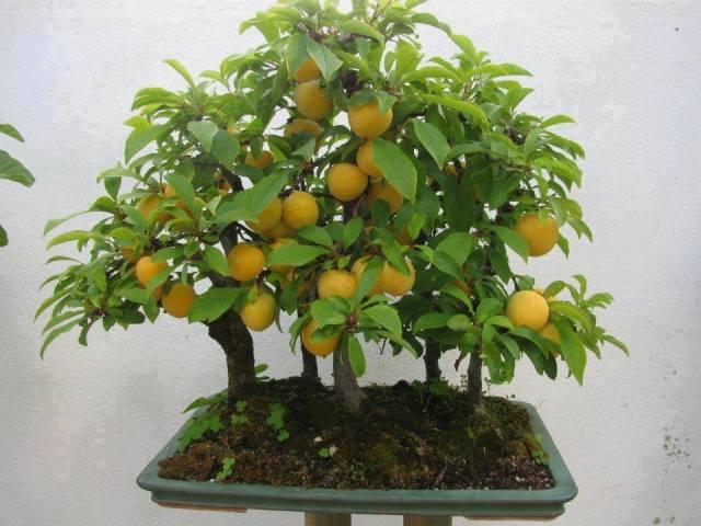 citrus-bonsai_bonsai-argentina