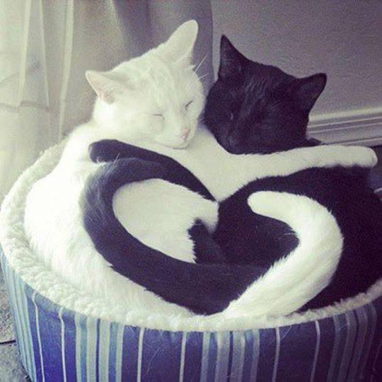valentines-day-yin-yang-love-kitties