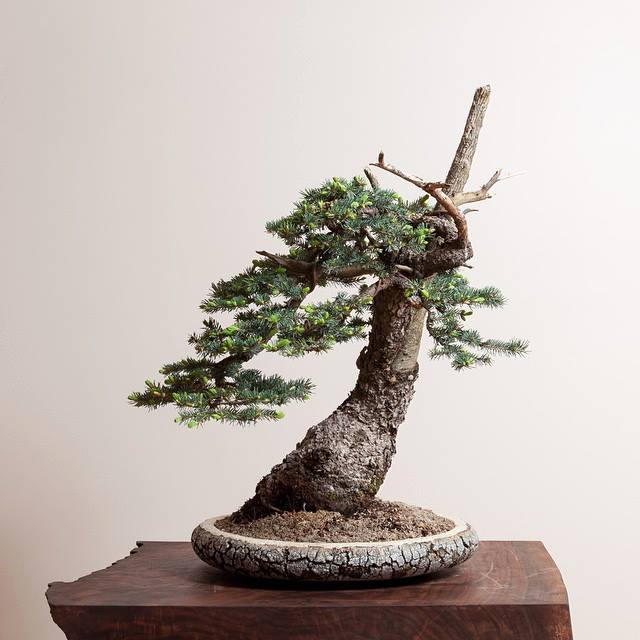 colorado-blue-spruce-bonsai_ryan-neil