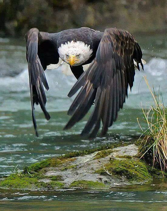 flying-bald-eagle