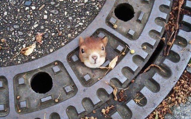 squirrel-head-in-manhole
