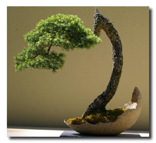 crooked-juniper-bonsai