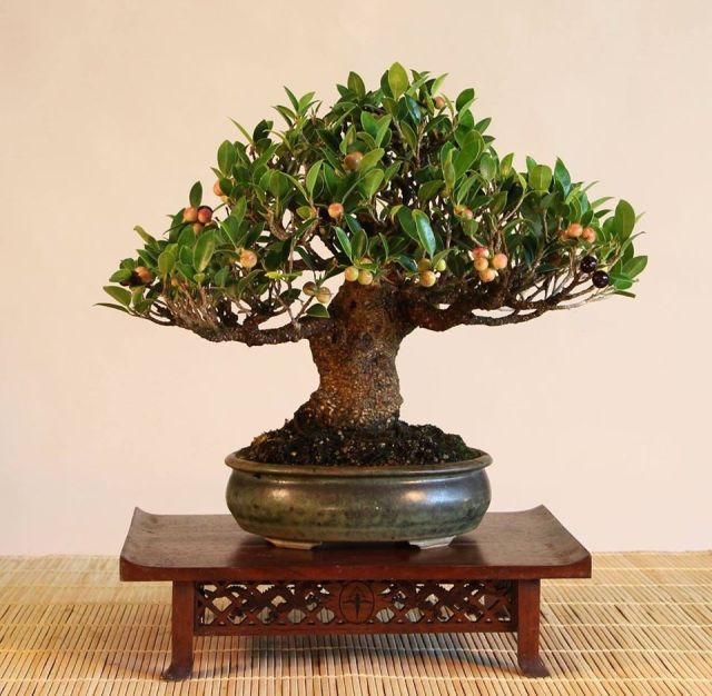cuban-laurel-fig-bonsai-ficus-microcarpa-kinmen_rob-kempinski