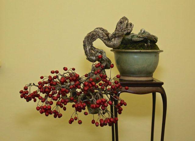 cuneata-hawthorn-bonsai_mark-r-cooper