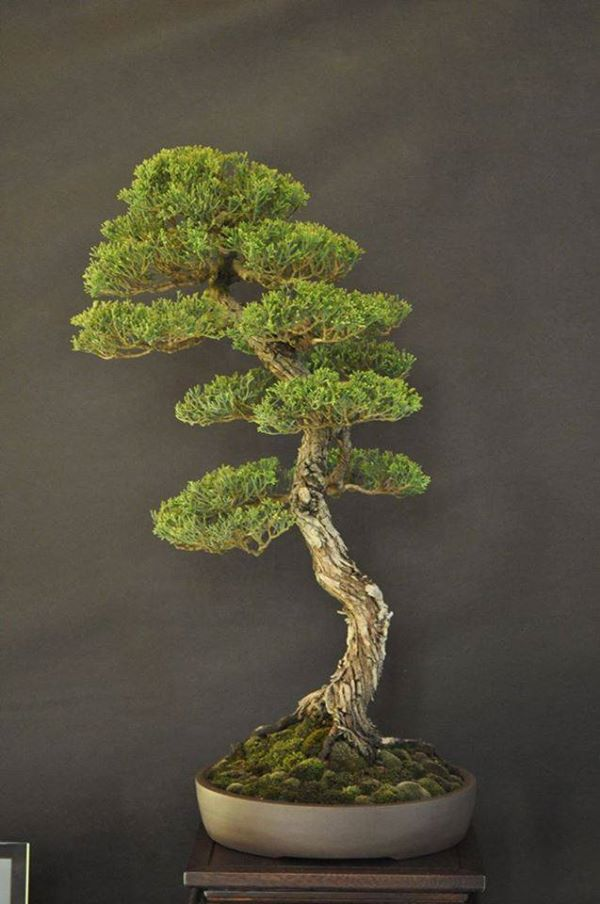 cupressus-bonsai-collected-by-francesco-santini