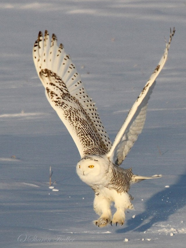snowy-owl-takes-flight-near-bangor-maine_sharon-fiedler