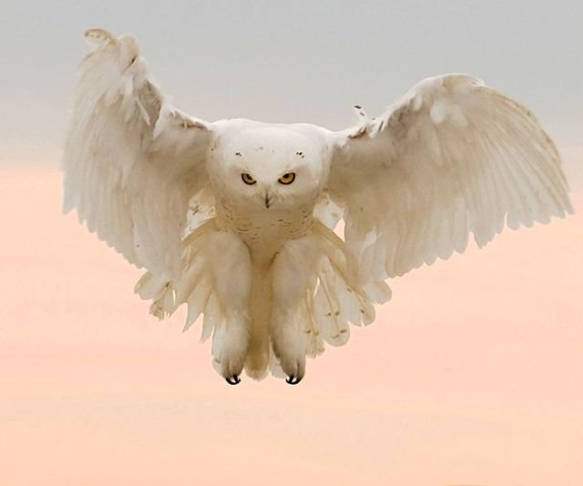 snowy-owl_barbara-fleming-audubon-magazine