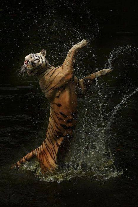 dancing-tiger-cindy-budiono