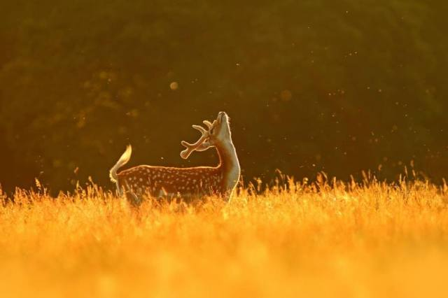 deer-in-golden-field_simon-roy