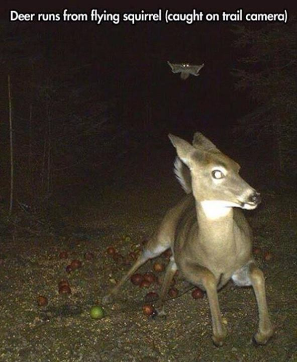 deer-startled-by-flying-squirrel-trail-camera