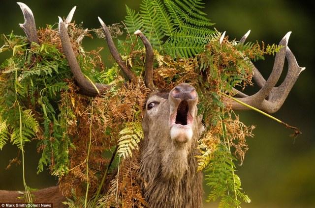 deer-w-antlers-full-of-bracken-king-of-richmond-park-england_mark-smith
