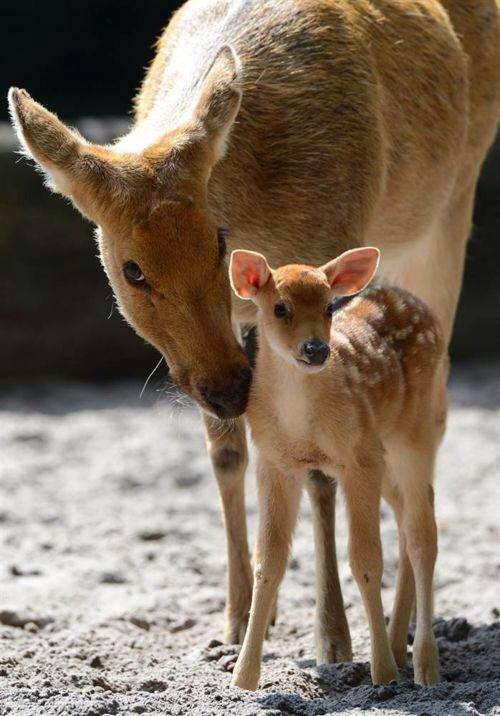 deer-w-fawn