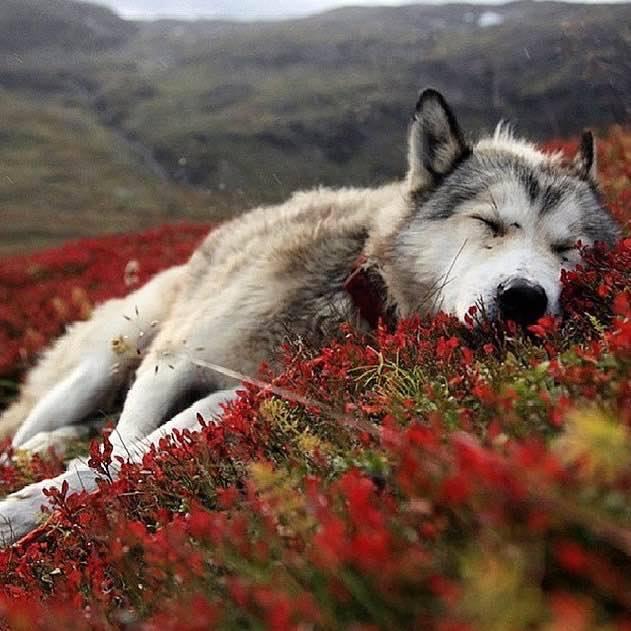 sleepy-wolf_peter-przybille