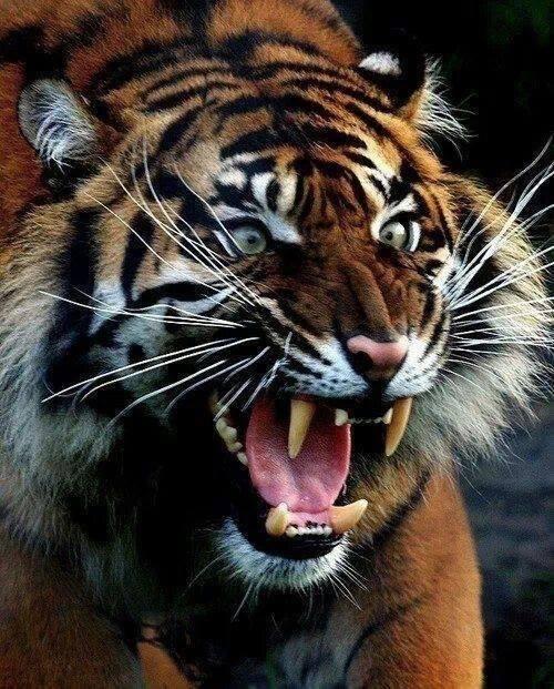 snarling-tiger
