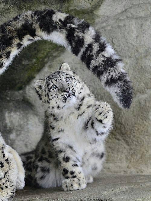 snow-leopard-cub_guido-wacker