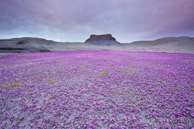 desert-blooms1-colorado-plateau-guy-tal