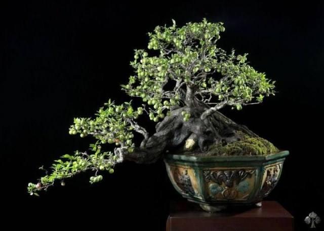 diospyros-montana-bonsai_budi-sulistyo