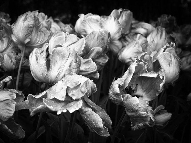 skagit-cty-tulip-festival-roozengaarde-wa_cheryl-bezuidenhout