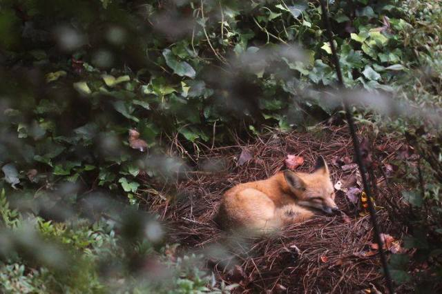 sleeping-fox-in-forest