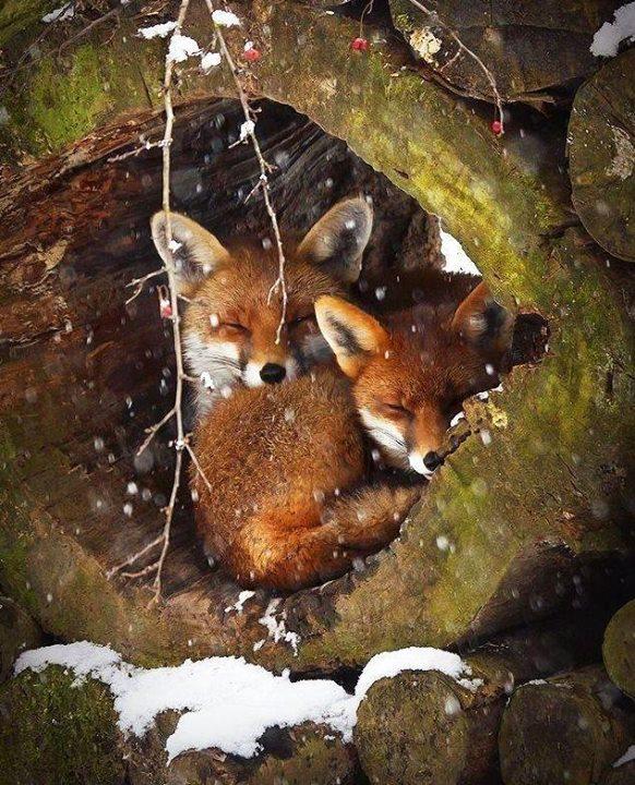 sleeping-foxes