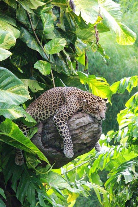 sleeping-leopard_bali-safari-park_jarrad-norman-parker